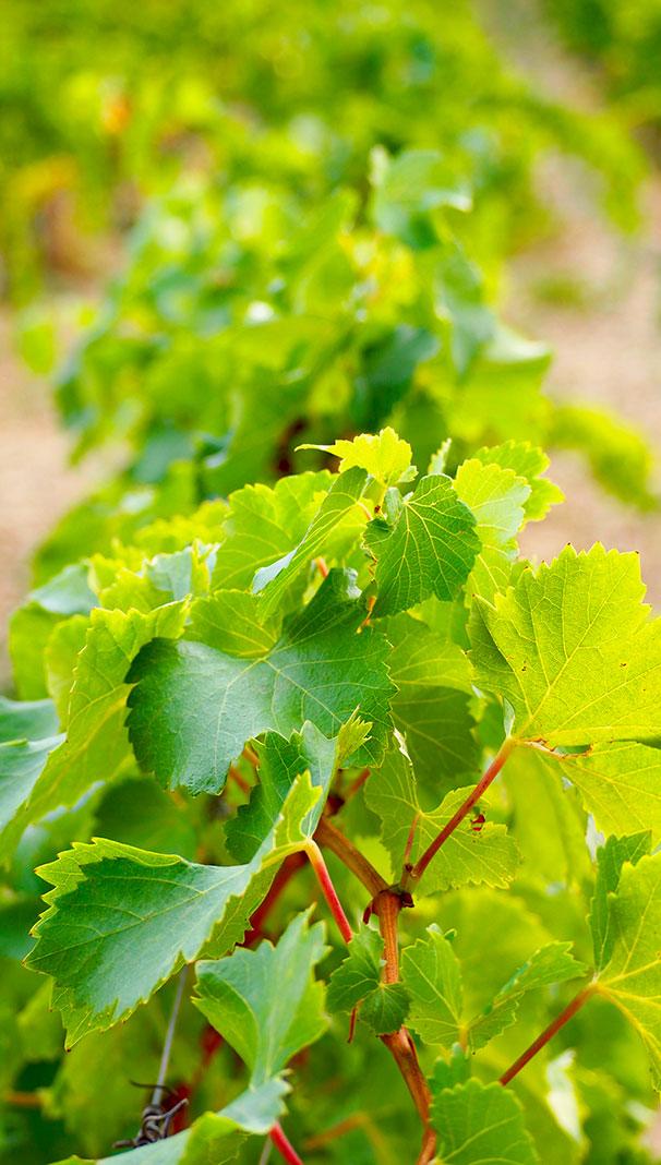 vignes, rhône,