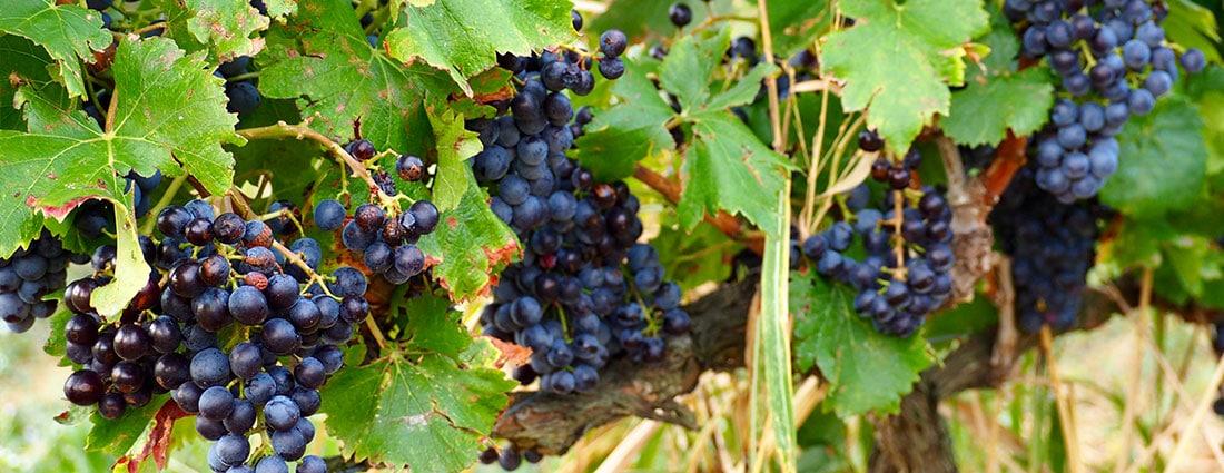 vignes, raisins, vins, rhone, vacqueyras