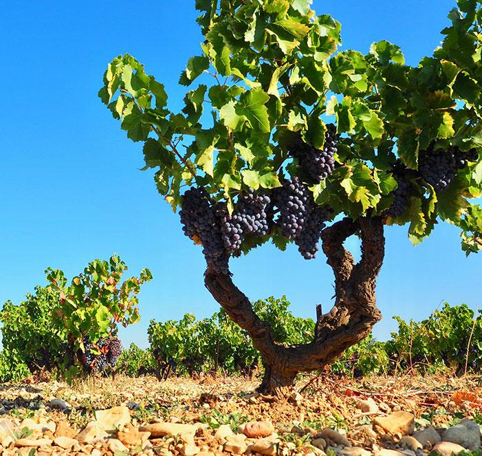 terroir, vin, vacqueyras, vins